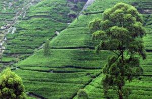 Tea plantation near Kandy Sri Lanka - World Travel Packages